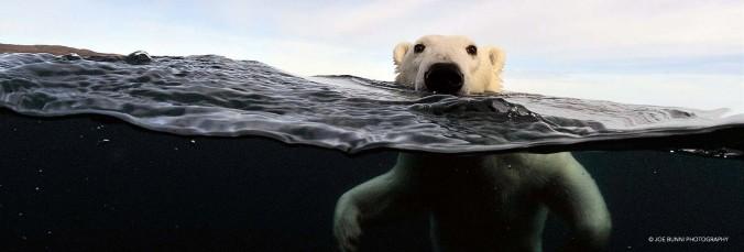 polar-bear-banner